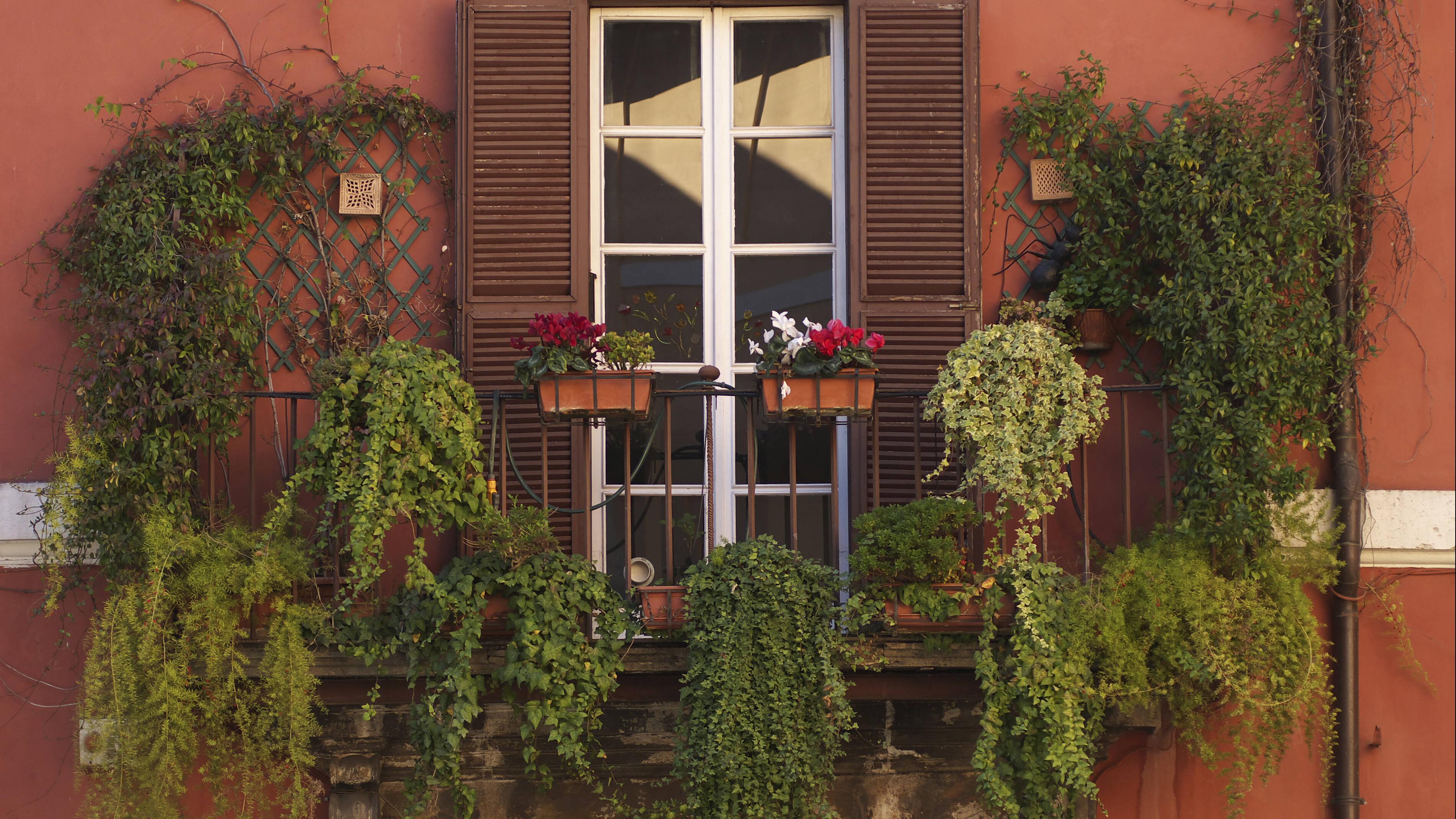 Efeu wächst in der Regel sehr gut auf dem Balkon.