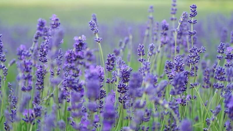 Lavendelöl für die Haare: Wirkung und Anwendung für gesundes Haar
