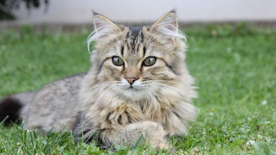Typisch für die Norwegische Waldkatze sind die langen Haarbüschel in den Ohren.