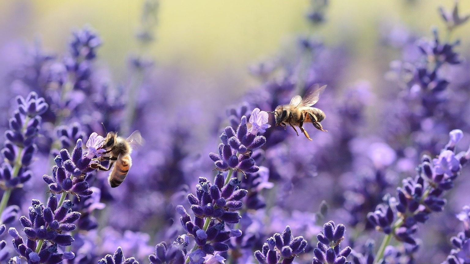 Auch Bäume und Halbsträucher wie der Echte Lavendel locken als insektenfreundliche Sträucher verschiedene Insekten an.