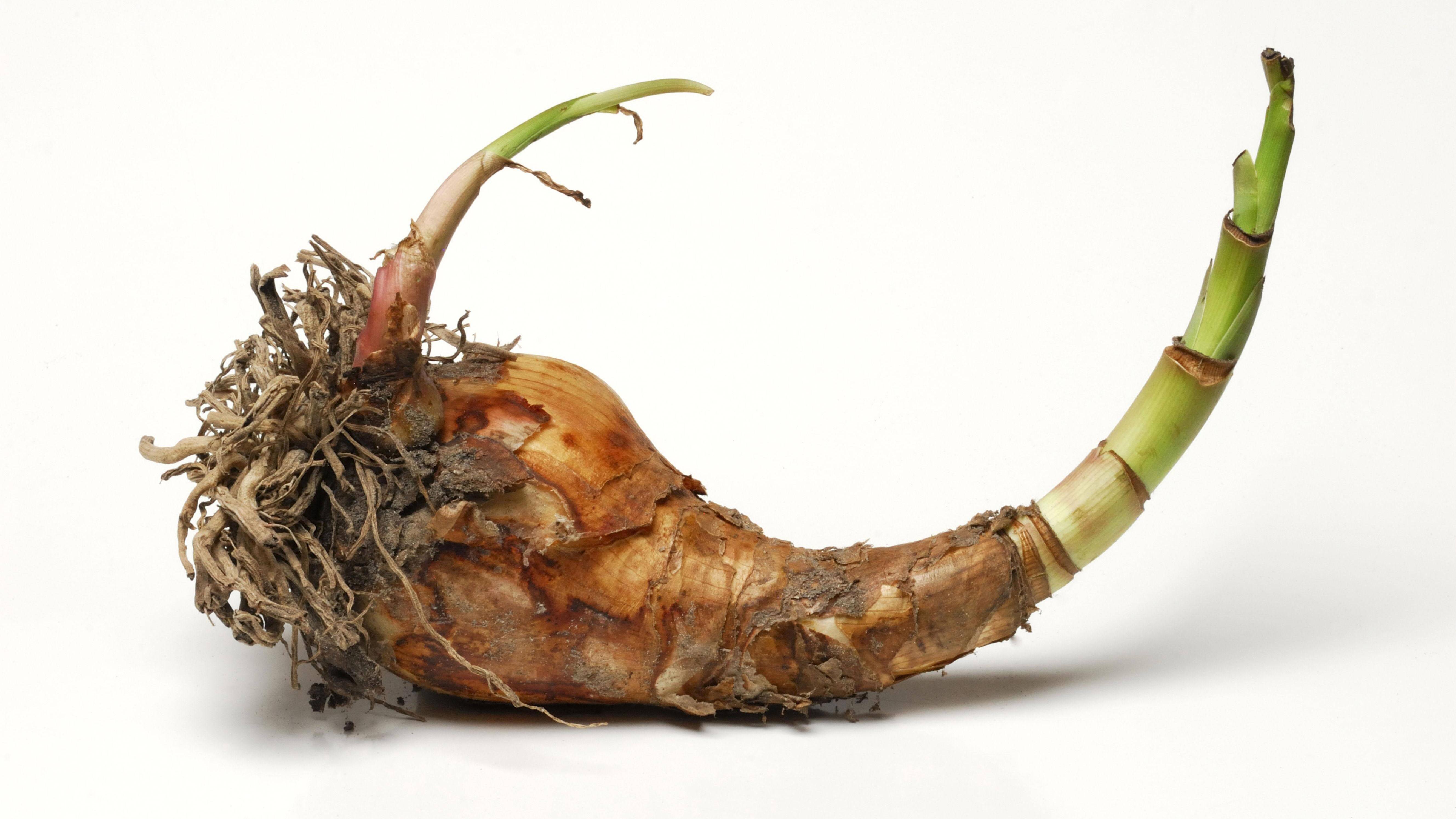 Blumenzwiebeln in Wachs - so machen Sie die Wax-Blumendeko selbst