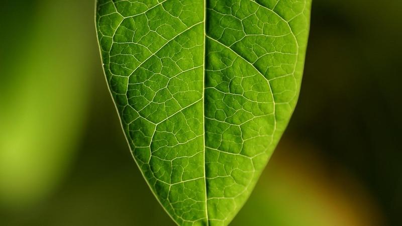 Chlorophyll Tropfen können sich positiv auf Ihre Gesundheit auswirken.