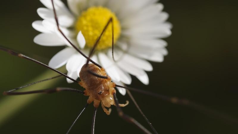 Weberknechte können sich durch die langen Beine gut von Pflanze zu Pflanze fortbewegen.