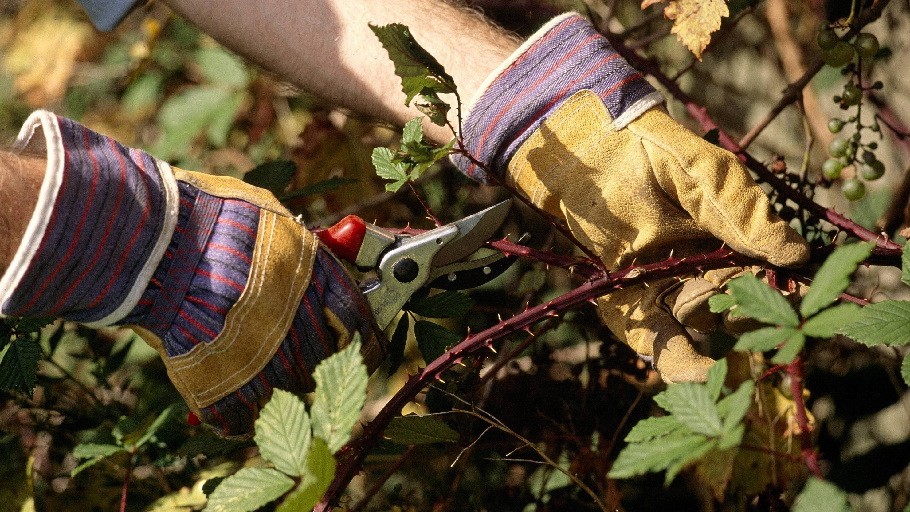 Brombeersträucher liefern leckere Früchte, wuchern aber schnell und haben Dornen