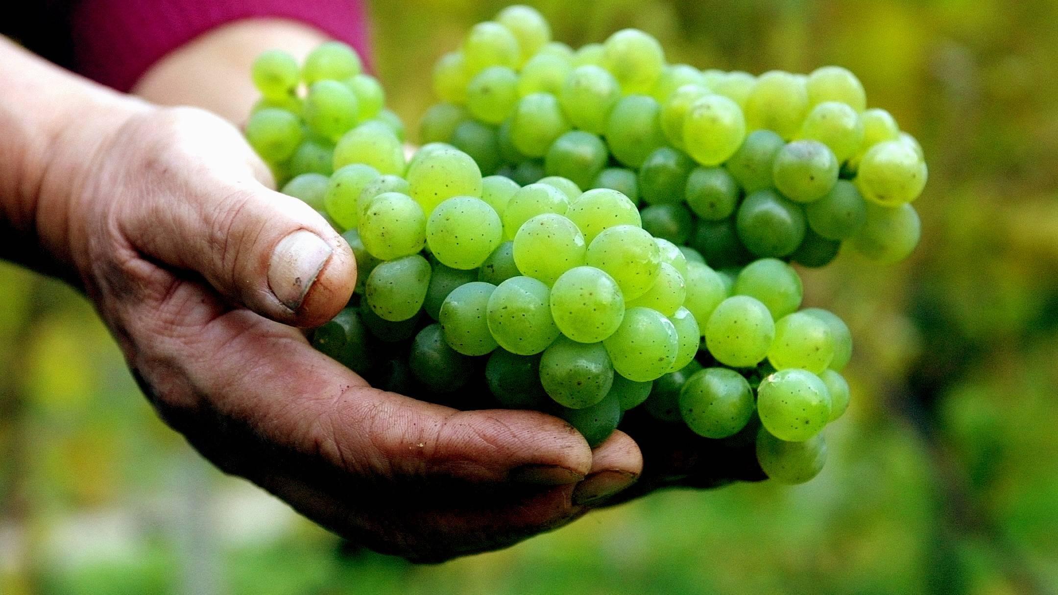 Durchfall durch Weintrauben: Ursachen und was Sie darüber wissen sollten