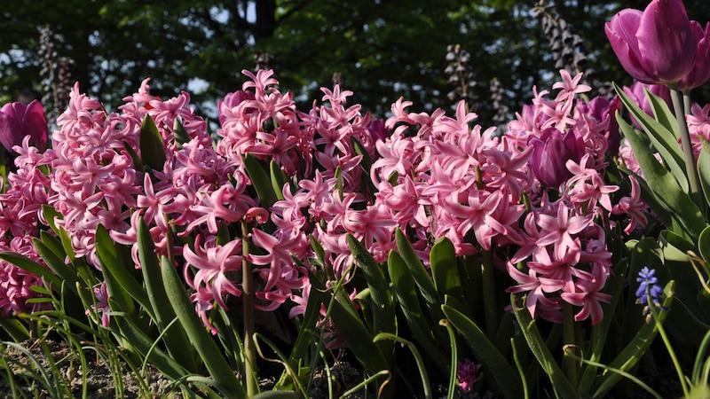 Hyazinthen im Glas: So können Sie die Pflanzen treiben