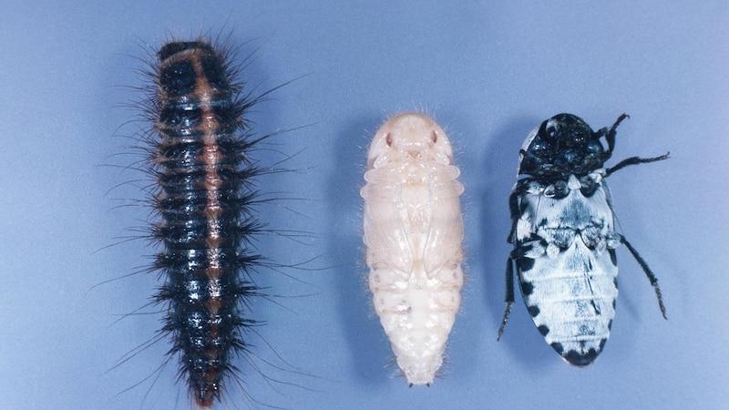 Speckkäfer in der Wohnung erkennen: So sehen Larve, Puppe und ausgewachsener Speckkäfer aus.