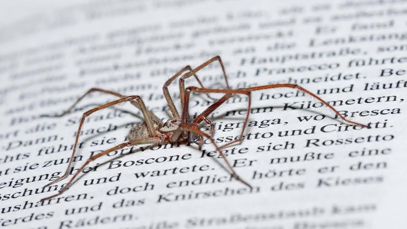 Die Große Winkelspinne gehört in Deutschland zu den häufigen Spinnenarten.