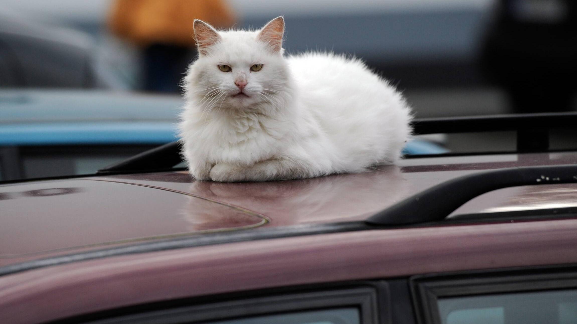 Katzen lassen sich meist nur ungern im Auto transportieren.