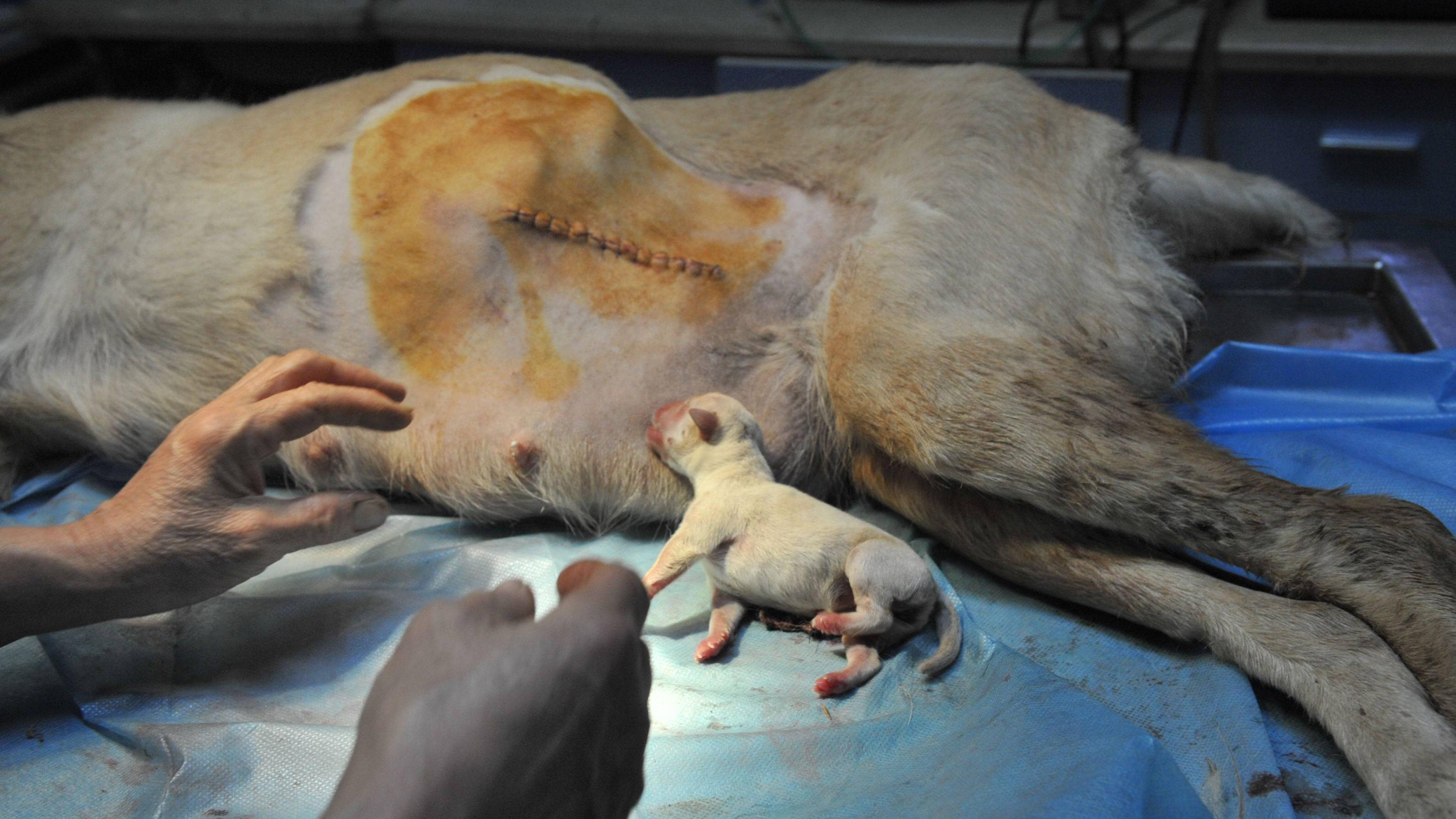 Ein Kaiserschnitt beim Hund kann hohe Kosten verursachen.