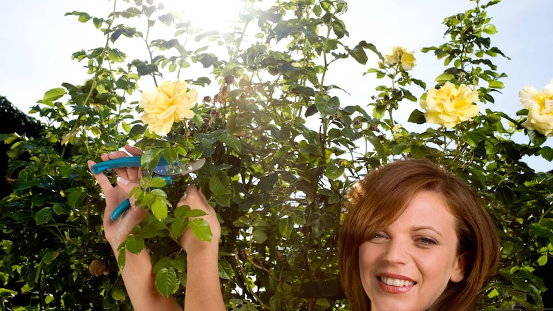 Rosen schneiden nicht nur nach der Blüte