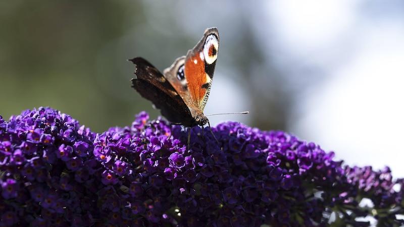Schmetterlingspflanzen: Pflanzen zum Anlocken der bunten Falter