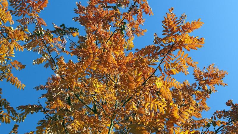 Der Speierling ist in der Herbstzeit besonders schön