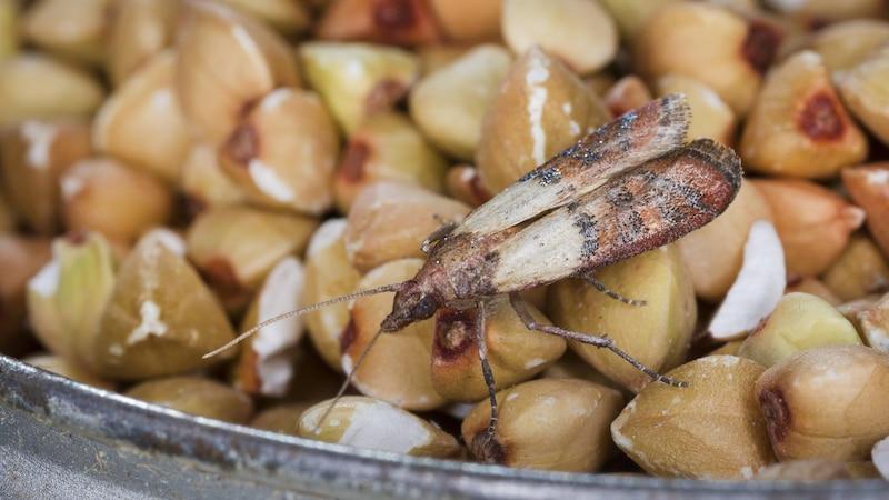 Auch Lebensmittelmotten können Sie mit Zedernholz abschrecken.