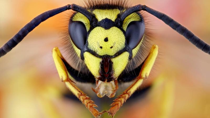 Aggressive Wespen: Deshalb fliegen Wespen immer ins Gesicht