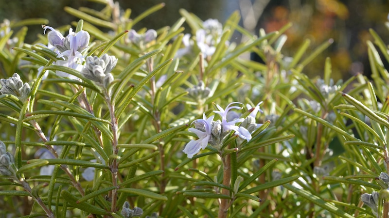 Rosmarin enthält viele verschiedene Pflanzenstoffe wie Gerbstoffe, Flavonoide und Saponine.