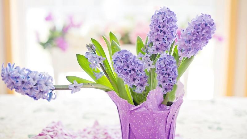 Hyazinthen im Topf bringen den Frühling ins Haus.