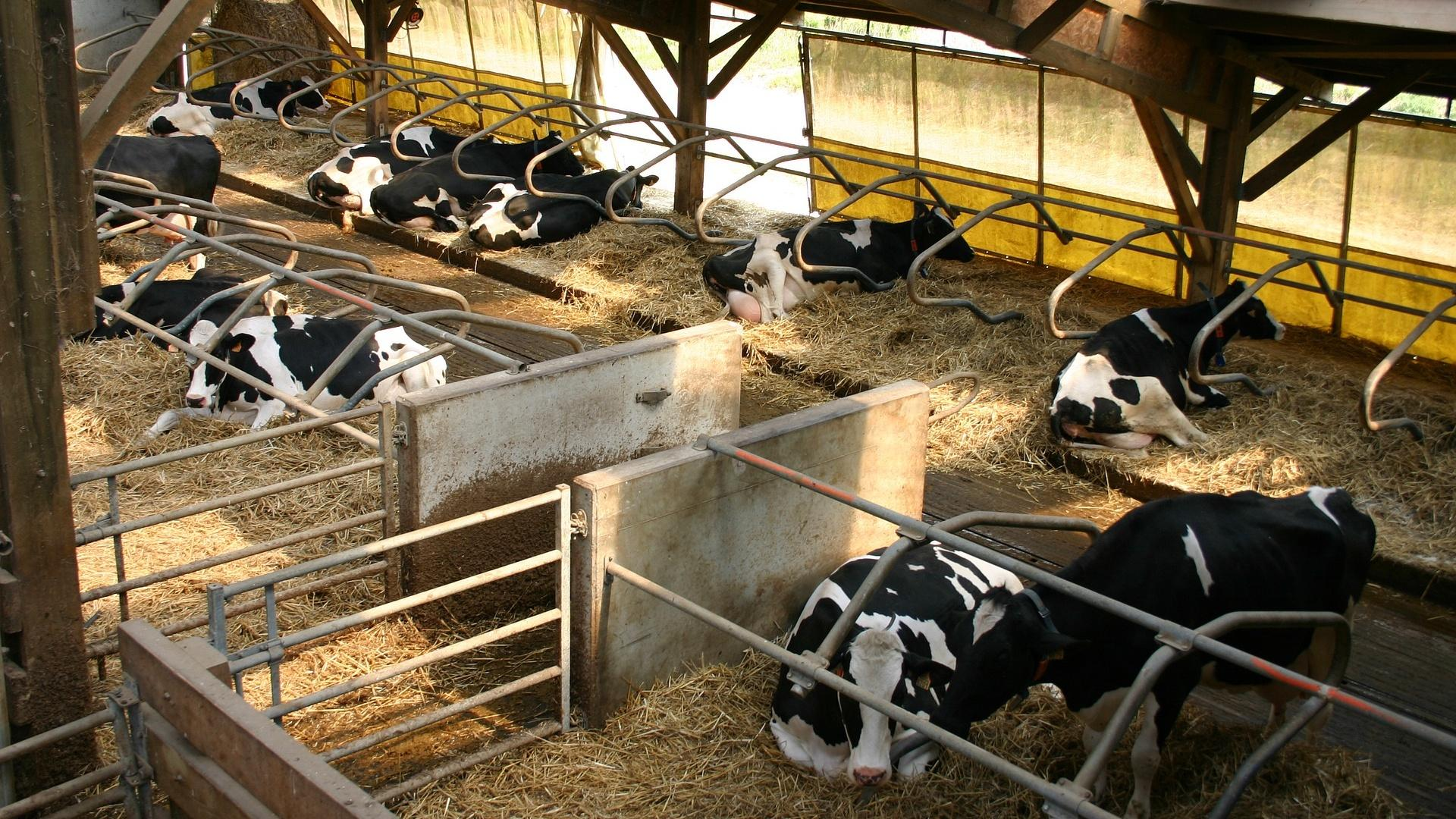 So leben Rinder und Kühe in der Haltungsform 1.