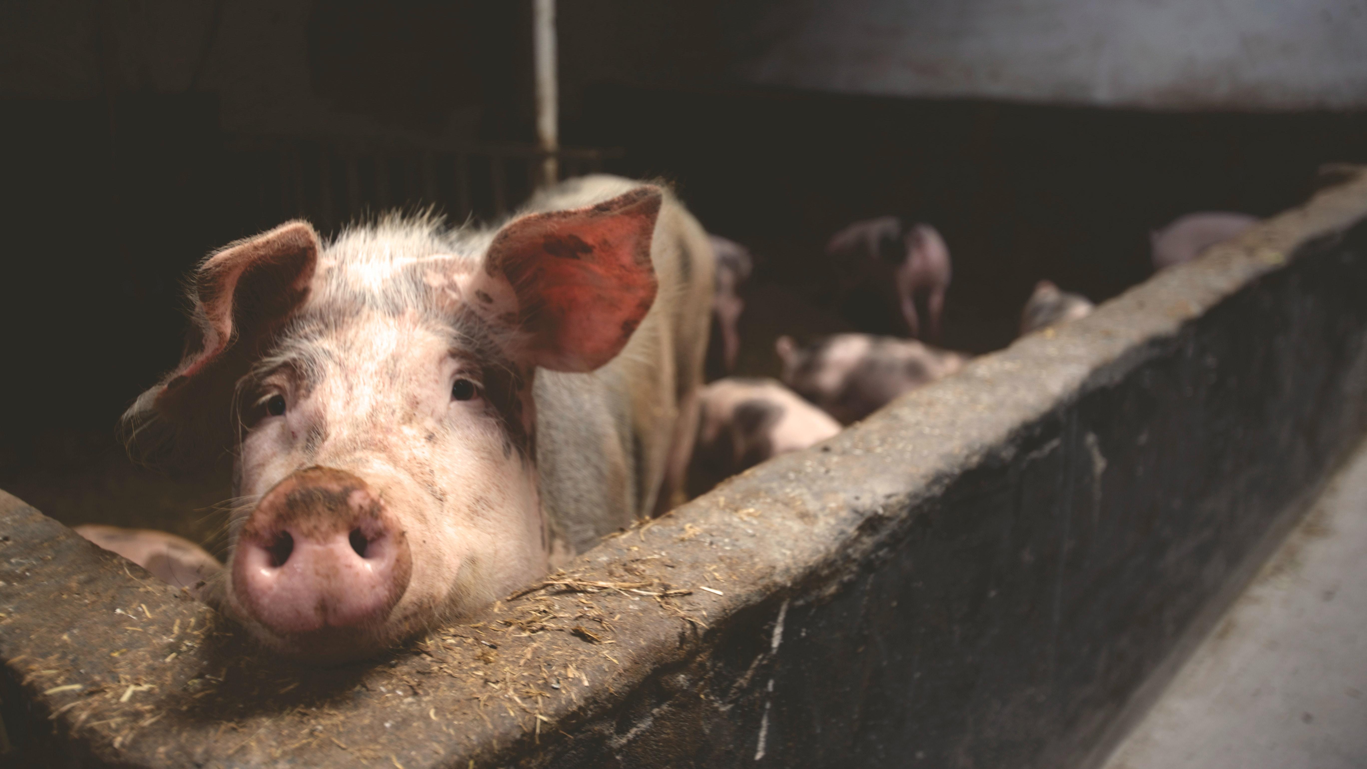 Beengt: Haltungsform 1 bei Schweinen