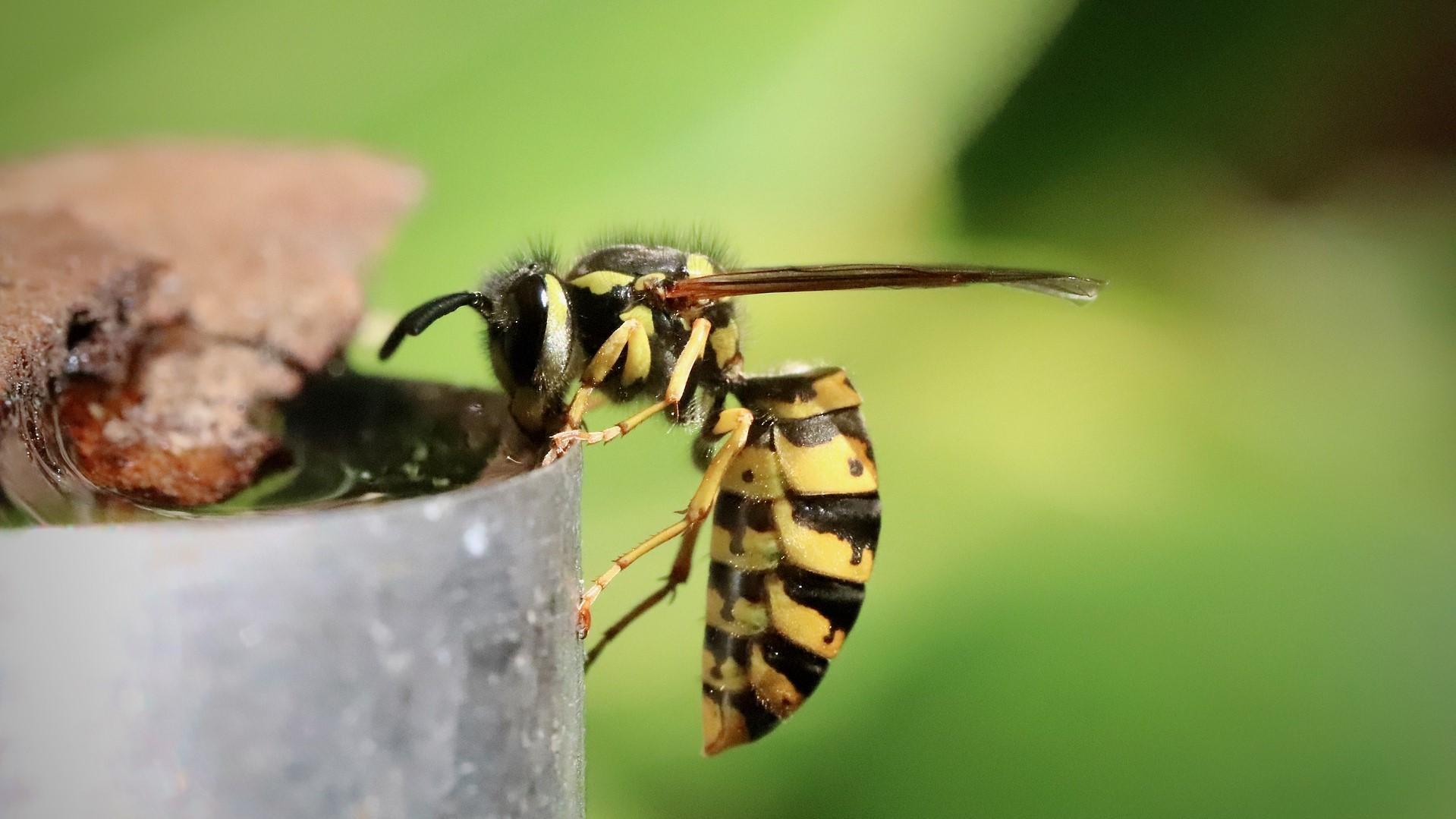 Ein Wespenstich in der Schwangerschaft ist ungefährlich, sofern Sie nicht unter einer Allergie leiden.