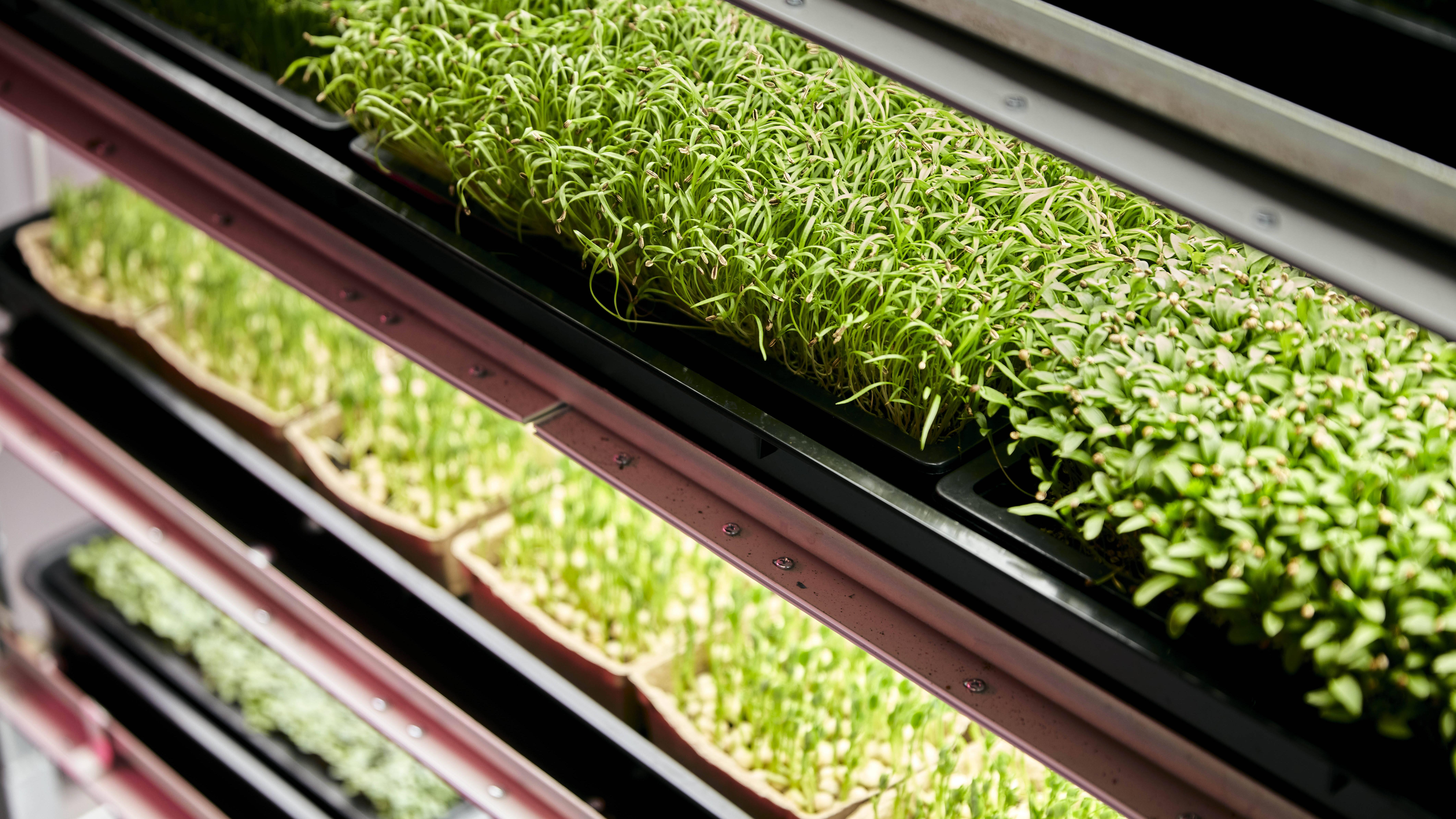 Microgreens selber anbauen: So einfach gehen Sie dabei vor