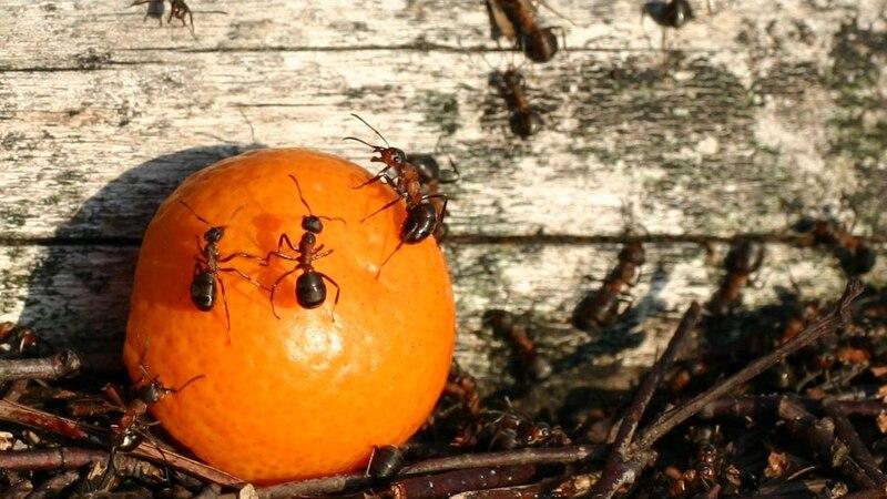 Ameisen mit Backpulver bekämpfen - so funktioniert's