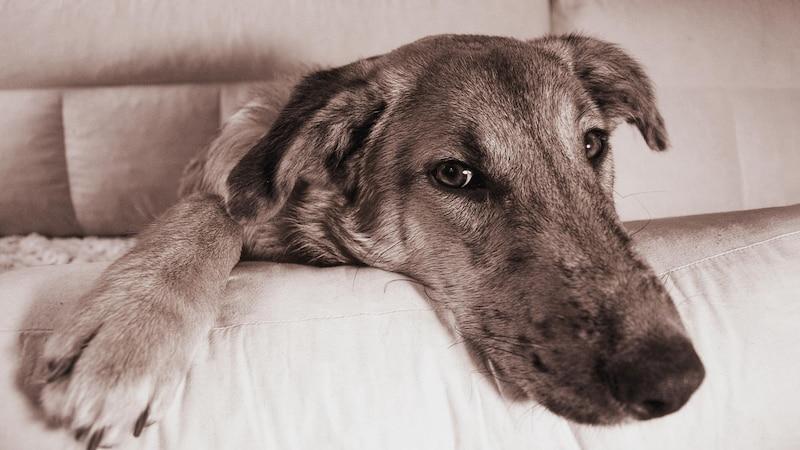 Regelmäßiges Entwurmen ist Pflicht beim Hund.