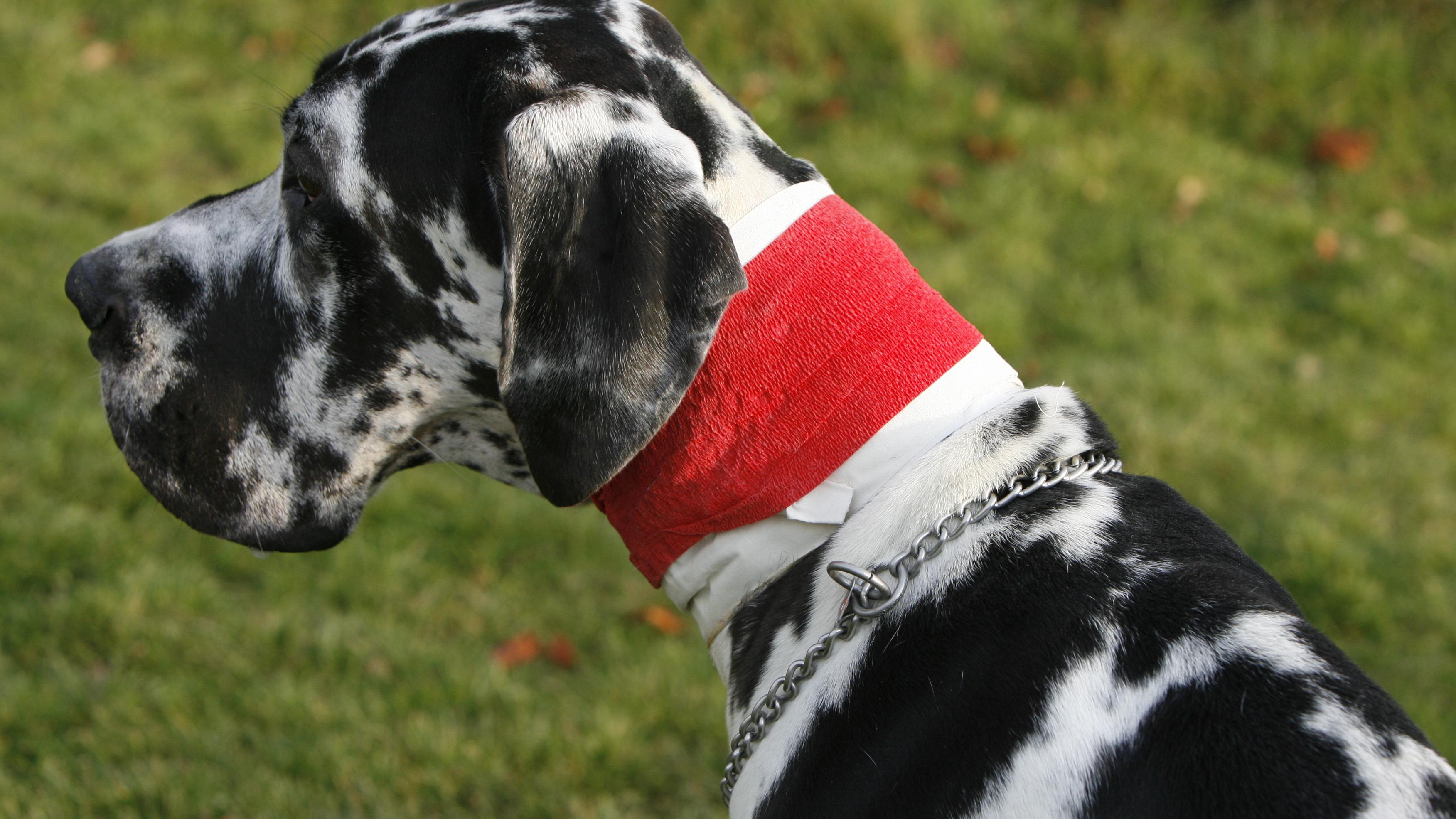 Hat sich Ihr Hund erkältet, ist ein wärmendes Halstuch hilfreich.