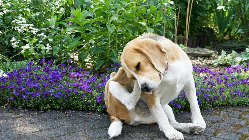 Hausmittel gegen Juckreiz beim Hund können helfen.