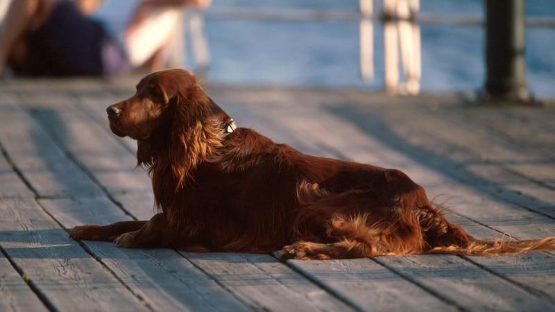 Hinter Haarausfall bei Hunden kann eine ernsthafte Erkrankung stecken.