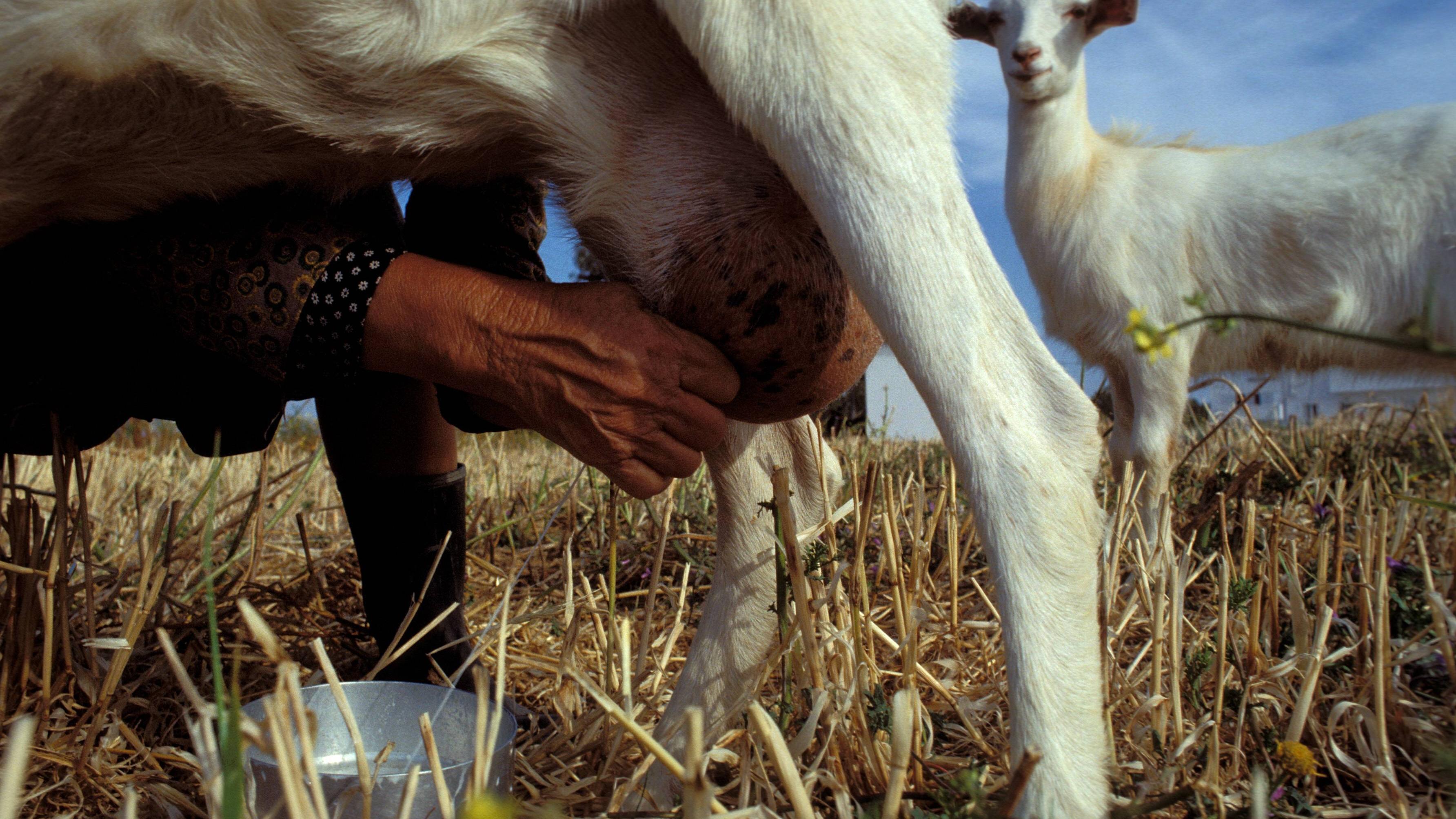 Ziegenmilch enthält viele wichtige Nährstoffe und ist somit durchaus eine Alternative zur Kuhmilch