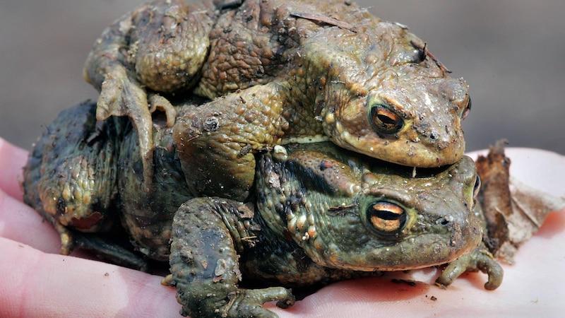 Kröten im Garten - das können Sie dagegen tun