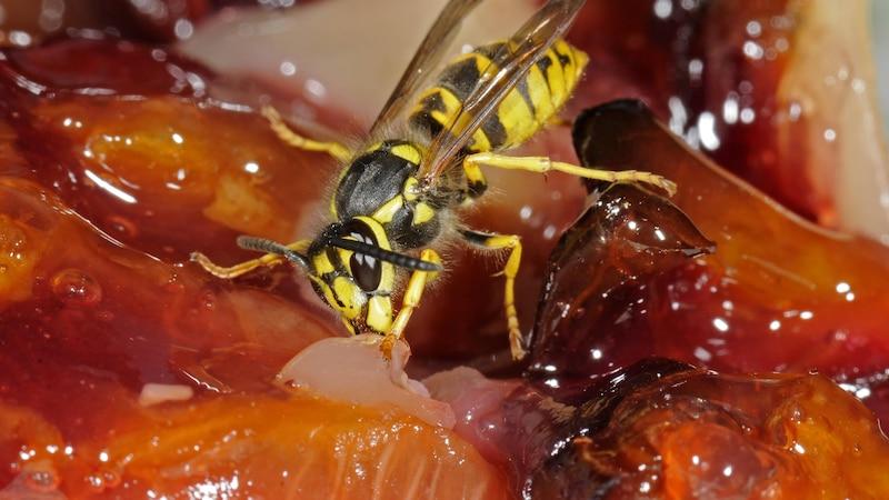 Wespen fernhalten und vertreiben: Die besten Tipps