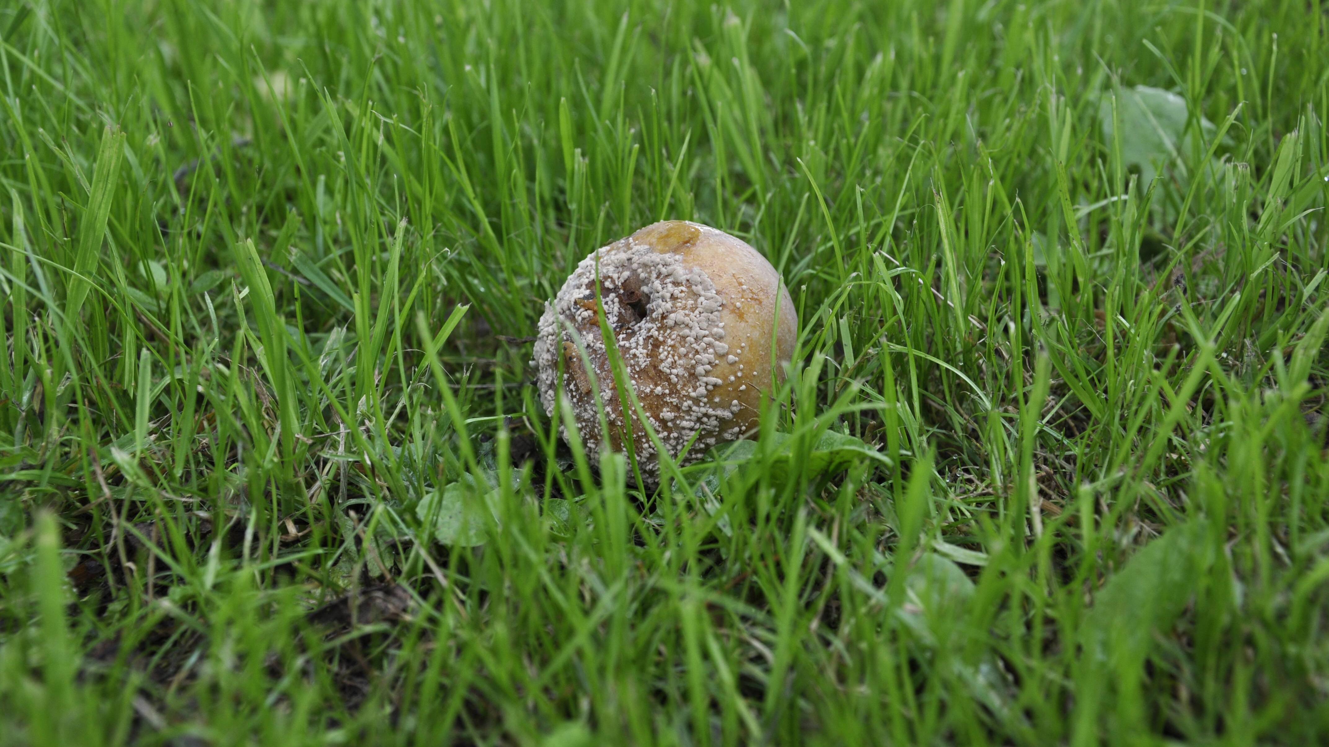 Rasen schimmelt - das können Sie tun