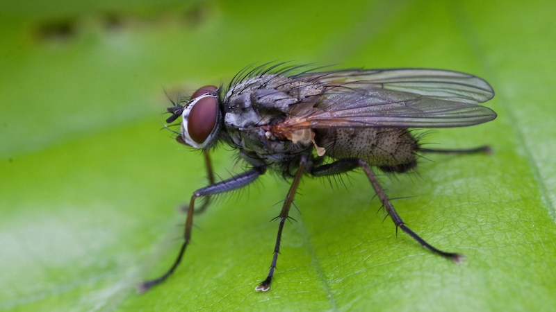 Fliegeneier gegessen - das sollten Sie jetzt tun