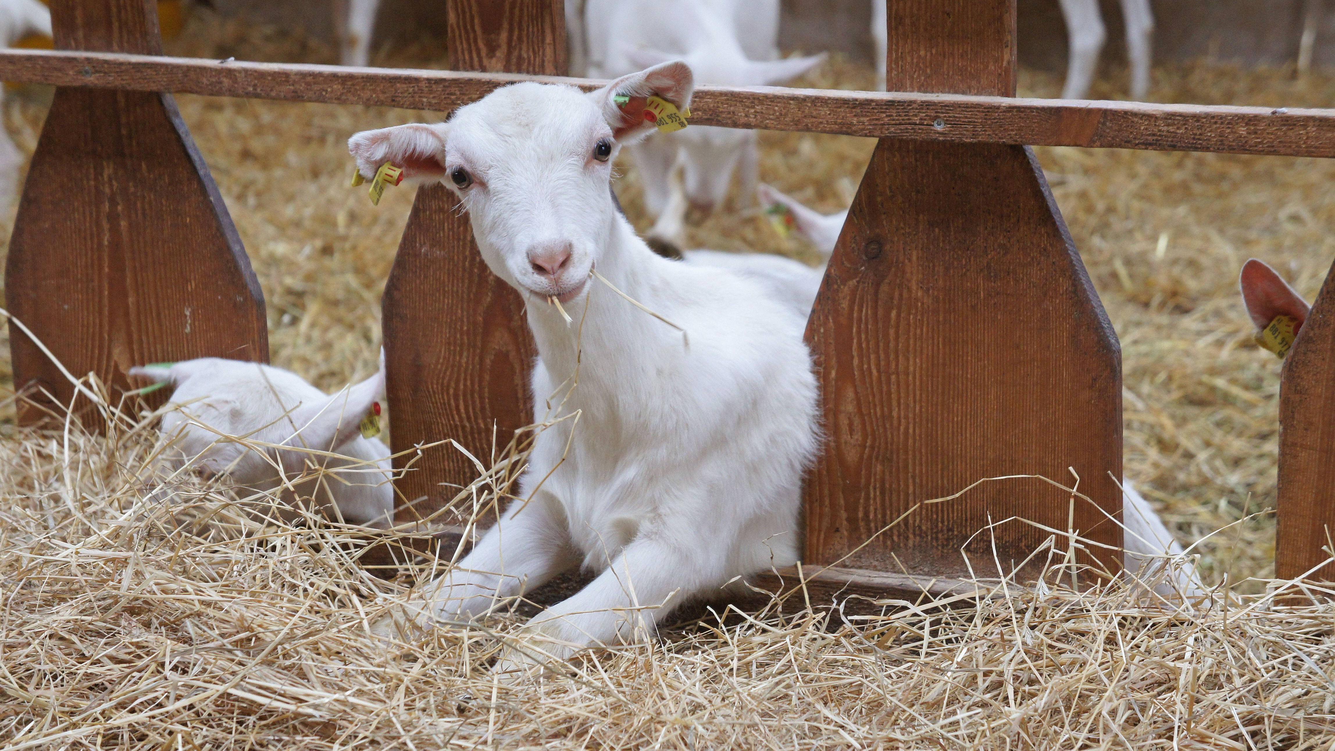 Ziegenmilch fürs Baby als Alternative zu Kuhmilch