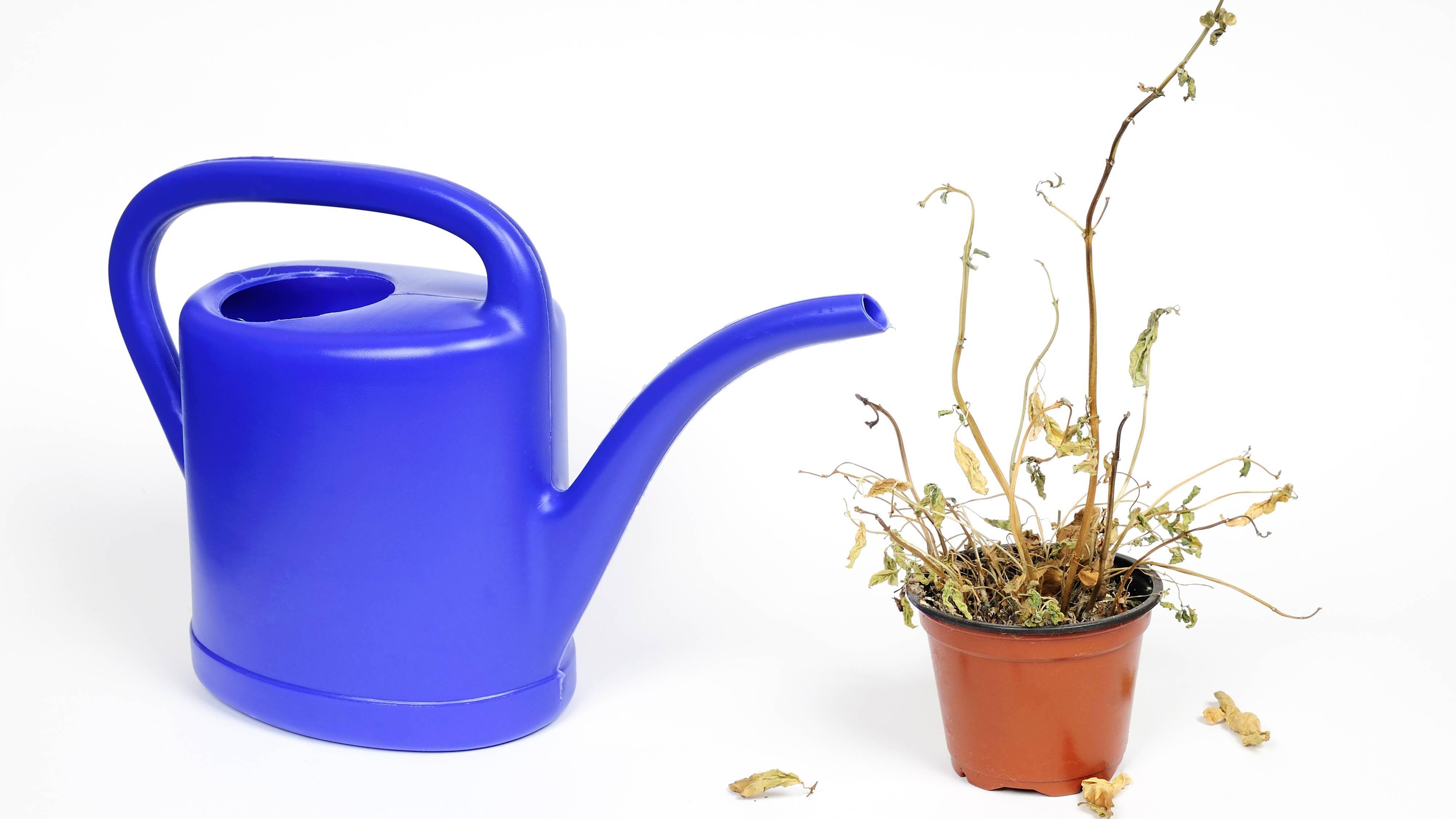 Pflanzen retten: Wie Sie vertrocknete Pflanzen wiederbeleben