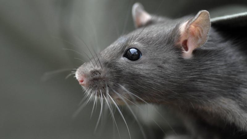 Ratten in der Wohnung: Erkennen, bekämpfen und vorbeugen