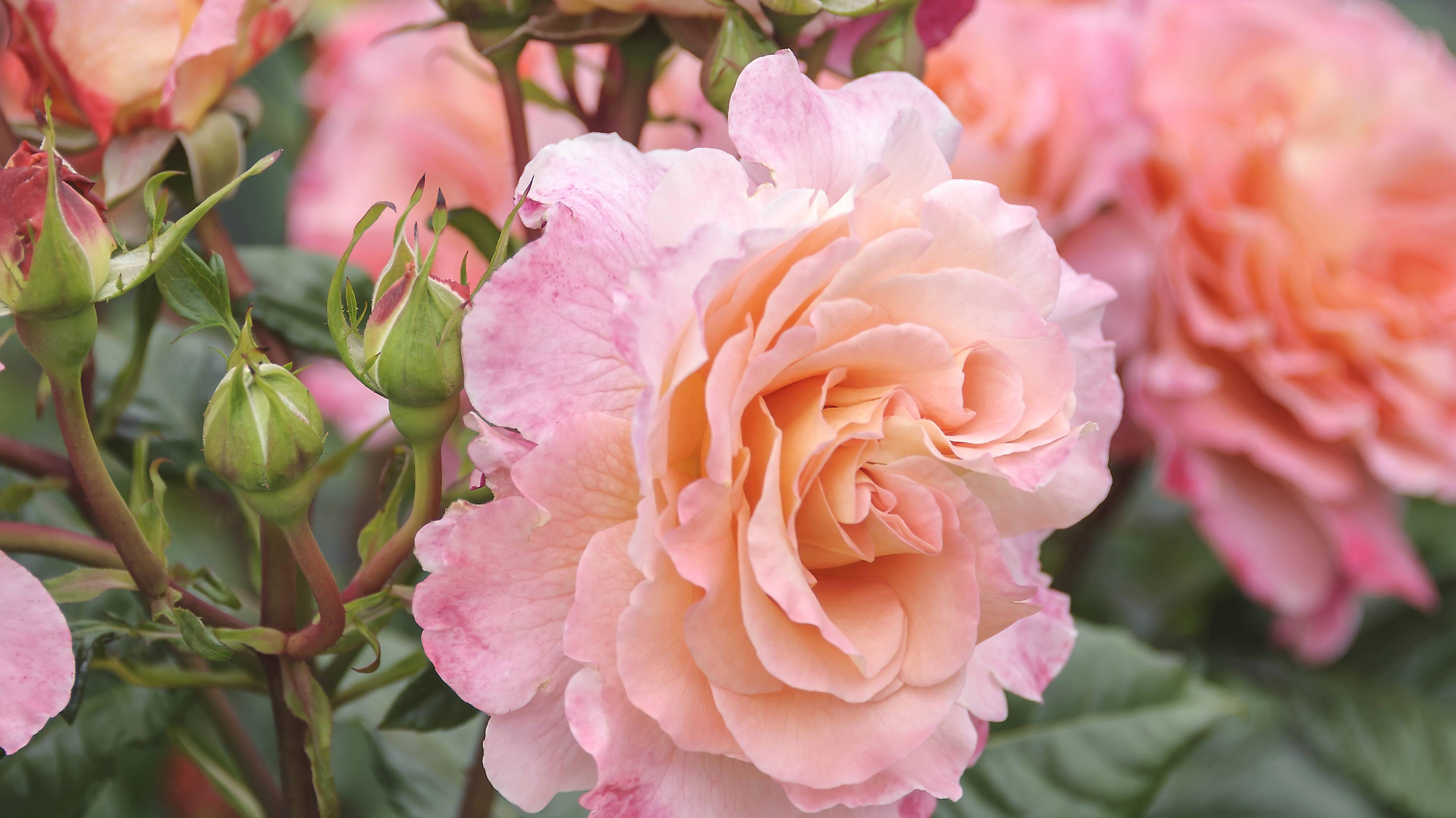 Rosen pflanzen: Dieser Standort eignet sich ideal