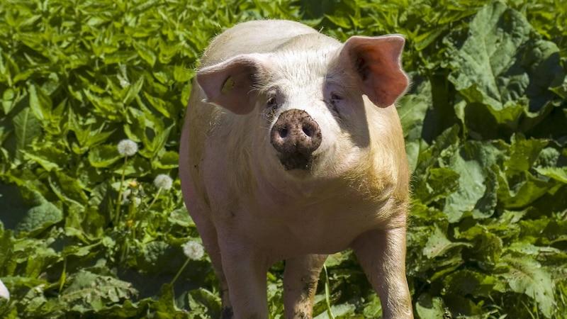Tieren, die in Haltungsform 4 leben, wird ein Zugang nach draußen und gentechnikfreies Futter gewährt.