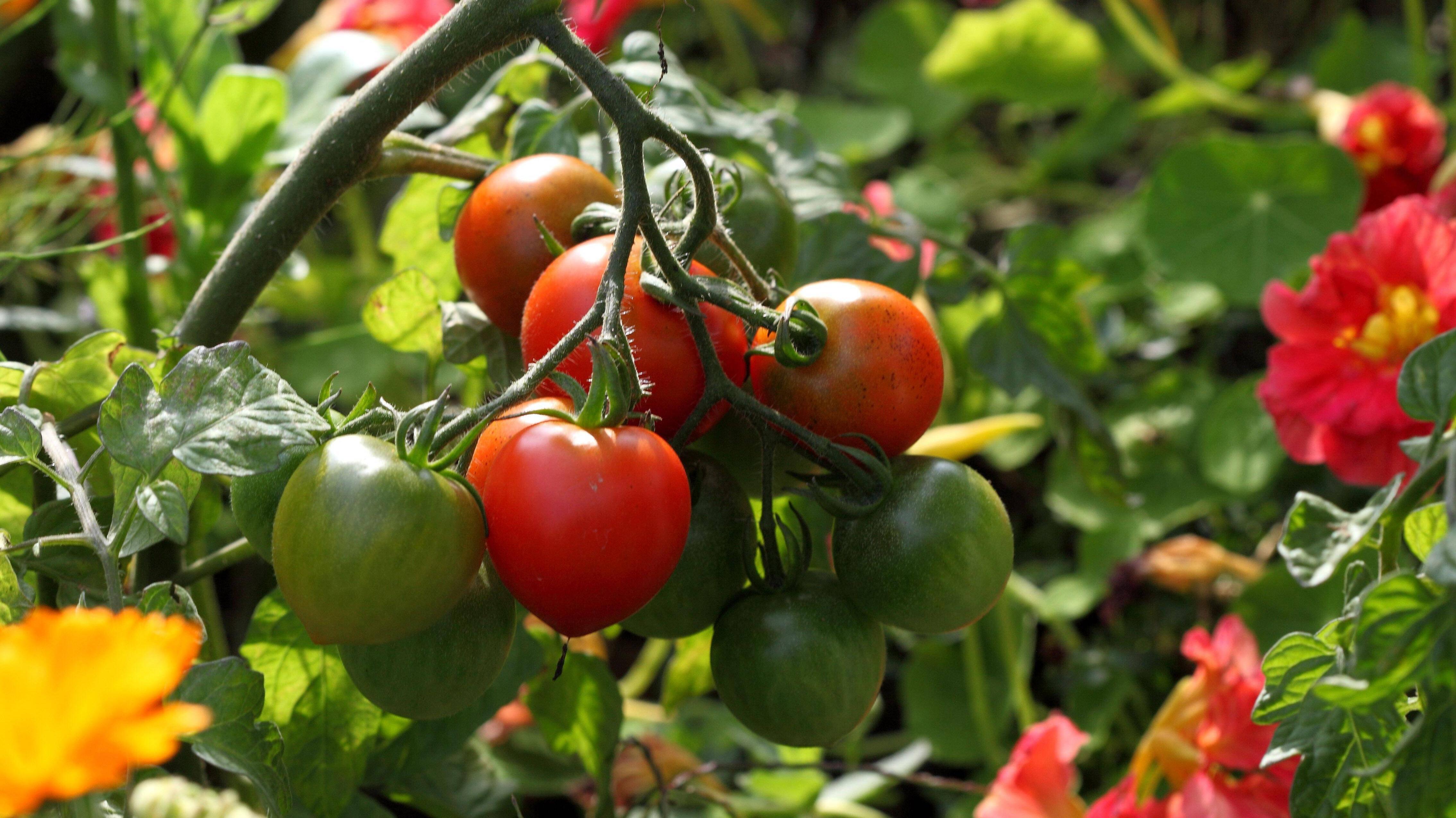 Tomaten können Sie kürzen, um das Höhenwachstum zu beschränken.