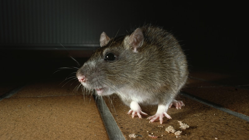 Ratten im Haus sind meldepflichtig, dies sollten Sie dem Ordnungsamt mitteilen.