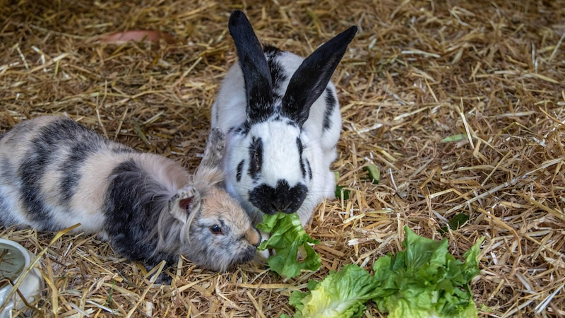 Rosenkohl für Kaninchen - nicht in jeder Form geeignet und nur schwer bekömmlich