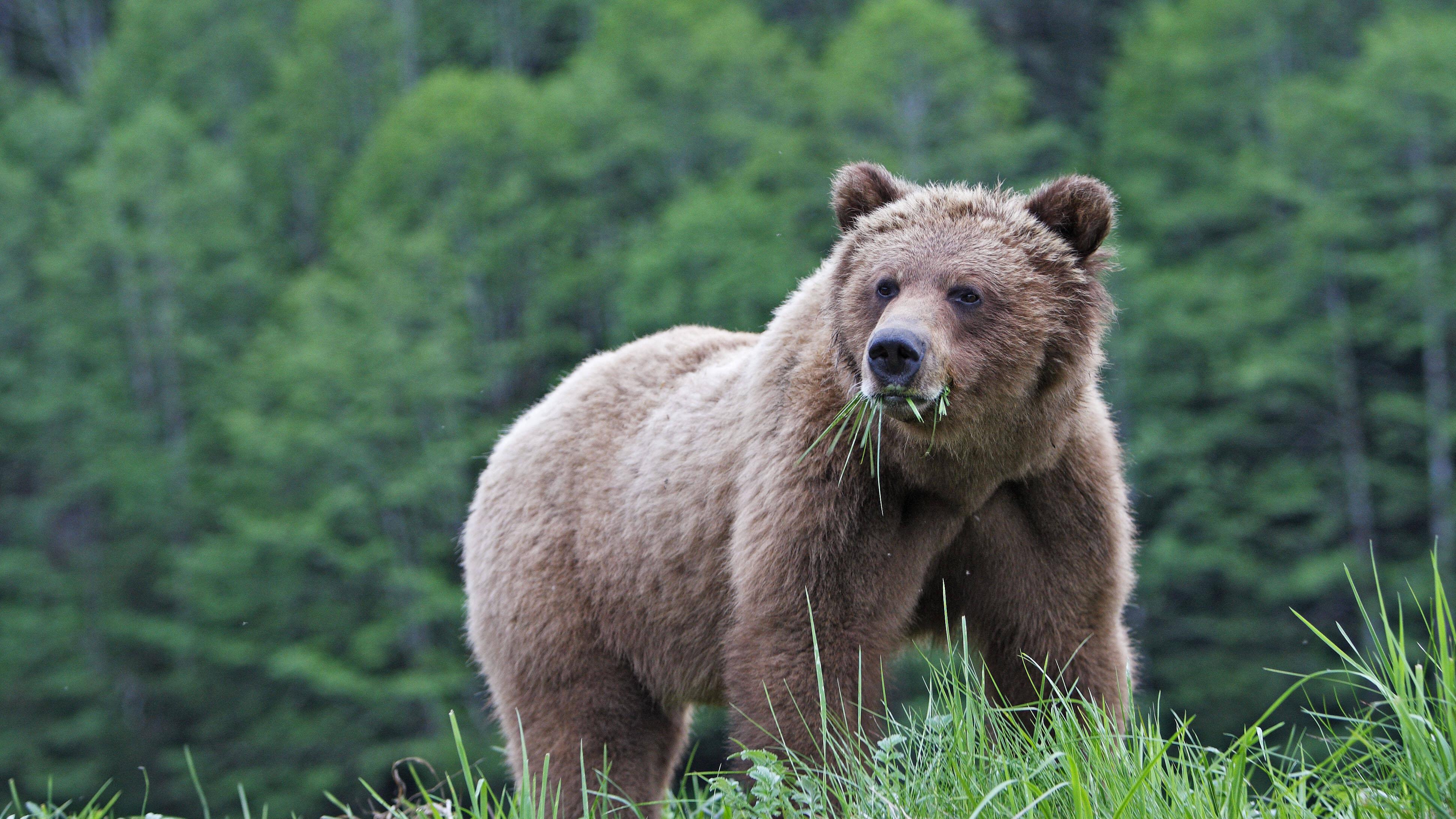 Die richtige Reaktion auf ein Bär in der Wildnis