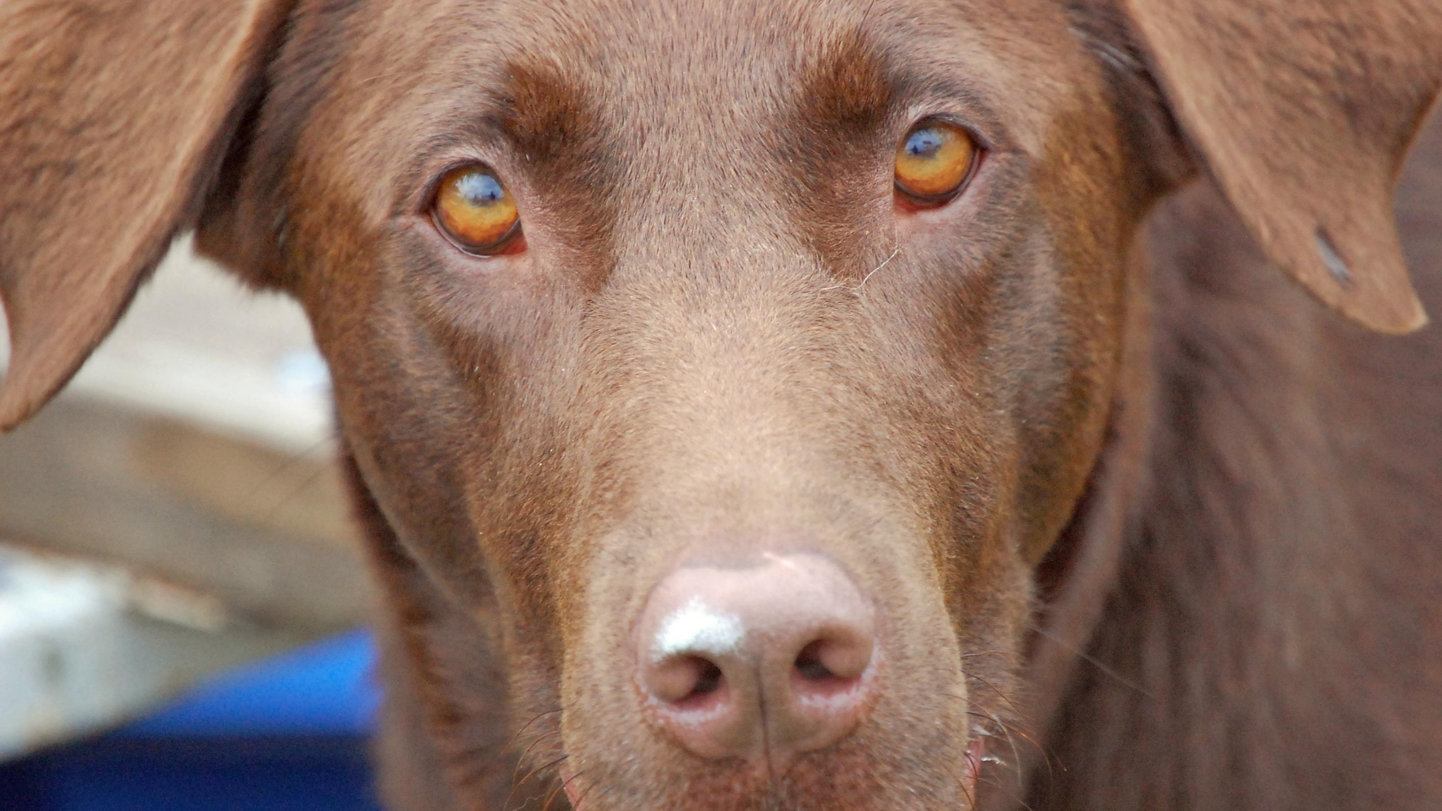 Besonders bei älteren Hunden steigt die Wahrscheinlichkeit für eine Demenzerkrankung.