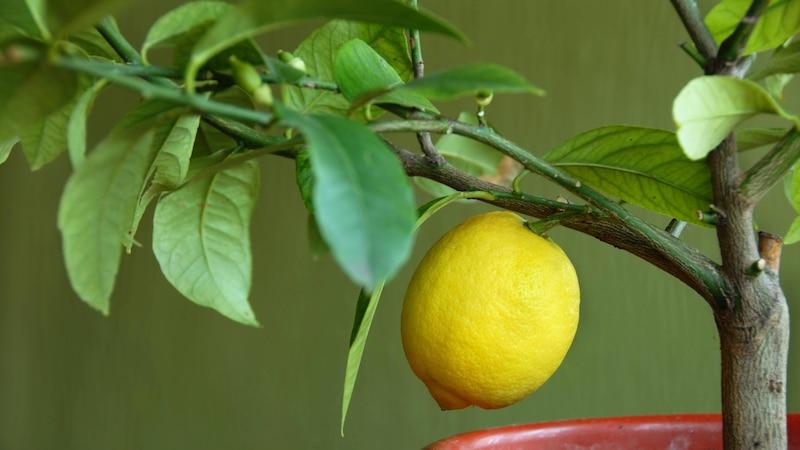 Einen Zitronenbaum müssen Sie zu Beginn regelmäßig schneiden.
