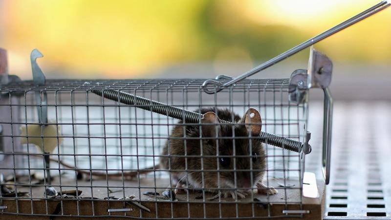 Um Mäuse zu vertreiben, können Sie zum Beispiel eine Lebendfalle nutzen.