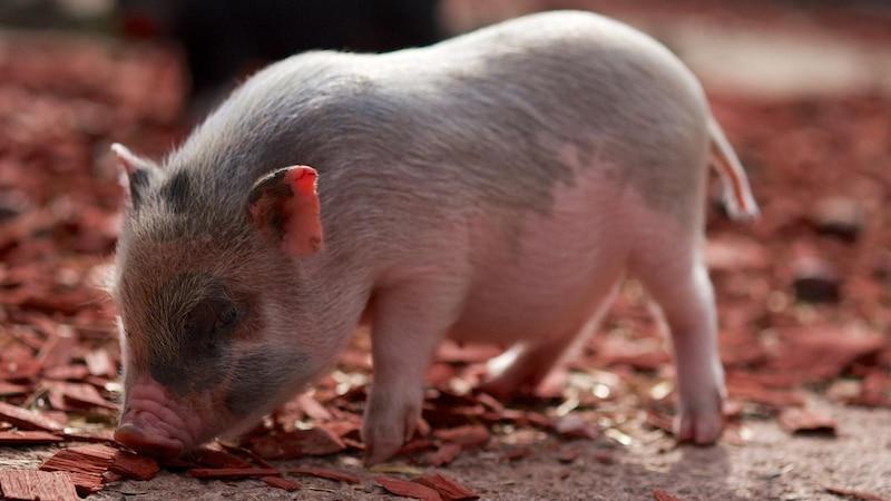 Schweine sind sehr schlaue Tiere und können mit den richtigen Haltungsbedingungen sogar auch als Haustier gehalten werden.
