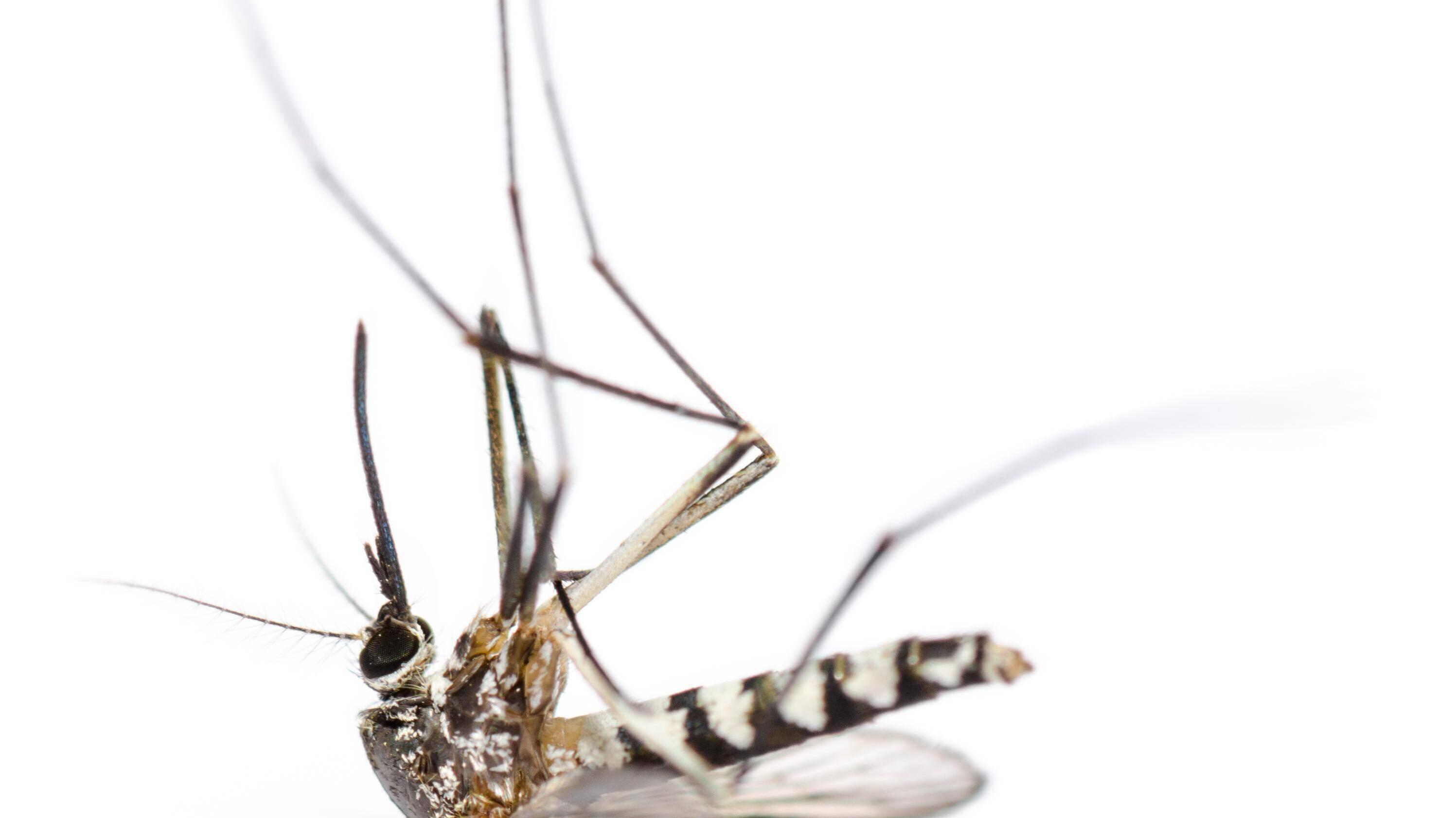 Tigermücke: Was gegen die Stiche des Moskitos hilft