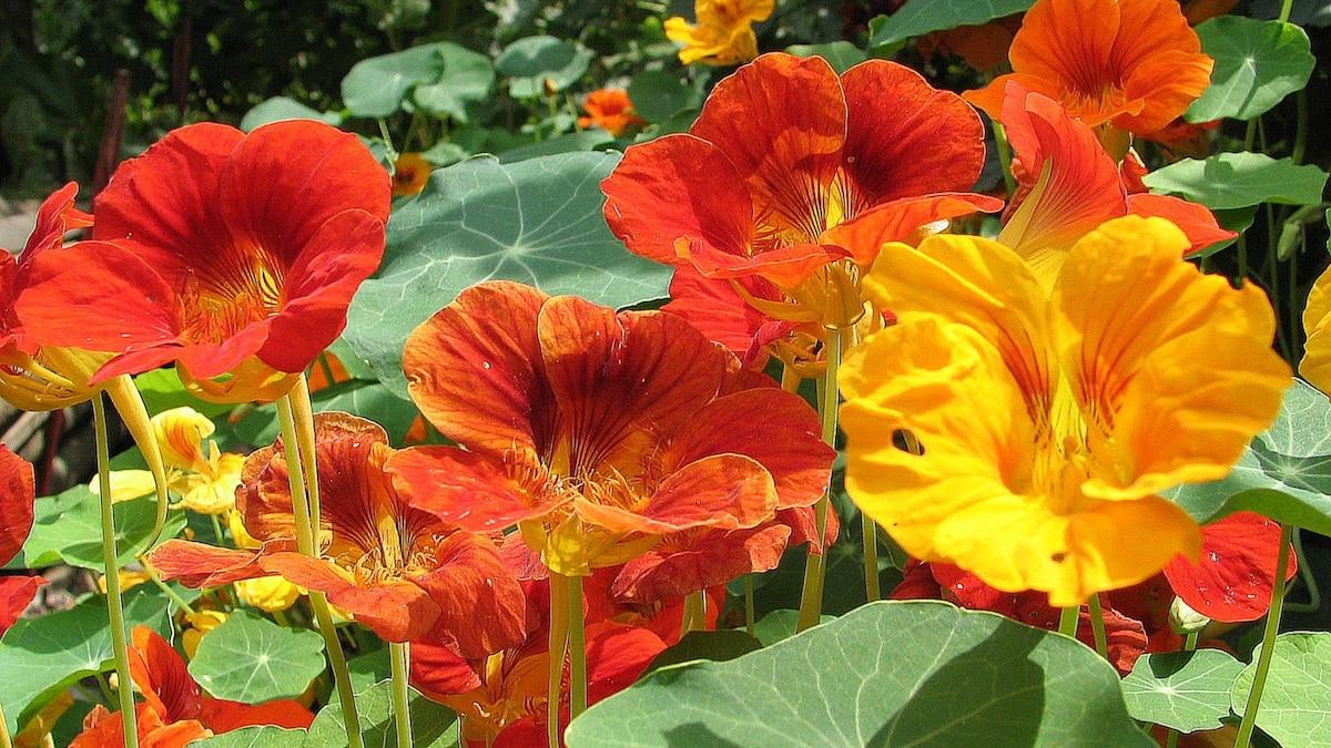 Die Blüten der Kapuzinerkresse haben ein süßliches Aroma und einen scharf-würzigen Nachgeschmack.